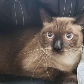 大きな猫好き必見‼6kgシャム風☆たぬくん1歳