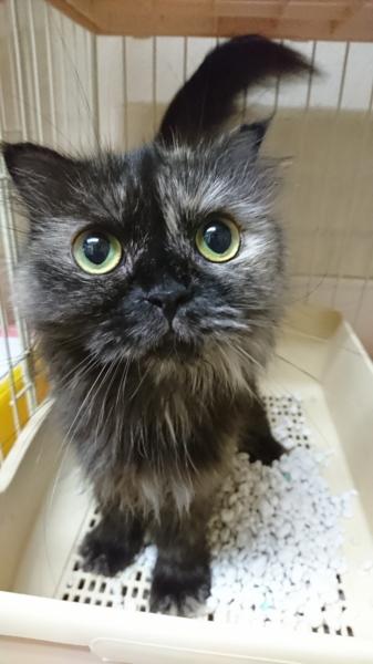 マンチカン☆てんこ☆5歳」東京都 , 猫の里親募集(279803