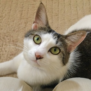 FIV陽性  美猫なキジ白 すももちゃん