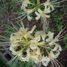 うちの庭に咲いたクリーム色のヒガンバナ