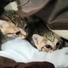 しましまツインズ子猫ぐりぐら サムネイル7