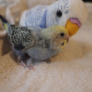 セキセイインコの雛です(5羽中の1羽目)