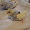 セキセイインコの雛です(5羽中の4羽目)