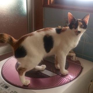 1歳くらい(6ヶ月〜)の三毛猫の女の子です