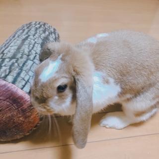 【急募】ロップイヤー うさぎ 2歳♀