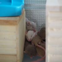 ファンシーマウス