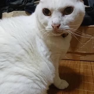 緊急!居場所がない白猫ちゃん
