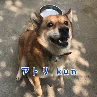 アトリ kun  ⭐️ 柴犬MIX