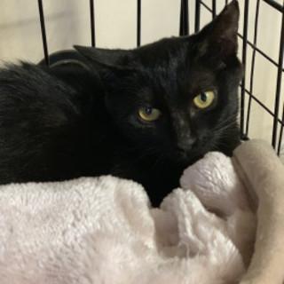 黒猫のおんなのこクッキーちゃん