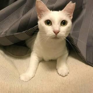 【メリア】真っ白い美猫ちゃん!