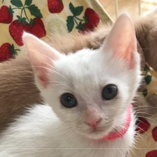 ブルーアイのかわいこちゃん!生後二か月