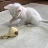 ブルーアイのかわいこちゃん!生後二か月 サムネイル4