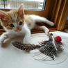 約一か月ちょい。茶白のきじ猫、とらじ君