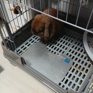 ロップイヤー 4歳のウサギです