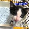 可愛い黒白ハチワレ子猫 050 兄妹で収容