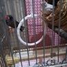 錦華鳥の親子 サムネイル2