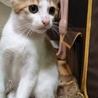3ヶ月すぎの白茶の子猫2