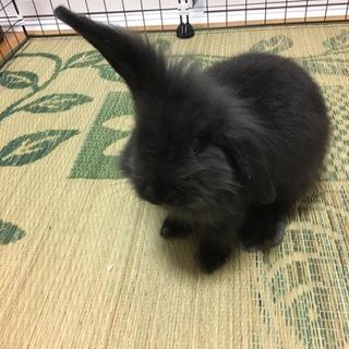 アメリカンファジーロップのウサギさんです