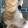 お手てでチョイチョイが可愛らしい美形のミケちゃん♡ サムネイル2
