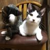 キョンキョンも❗️おとなしく飼いやすい仔猫兄妹です サムネイル3