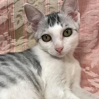 穏やかな美猫の…銀ちゃん3ヶ月半