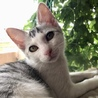 穏やかな美猫の…銀ちゃん3ヶ月半 サムネイル4