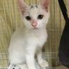 里親決定☆人懐っこい白猫のマロ君