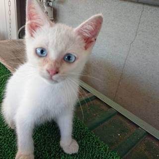 瞳がブルーの子猫