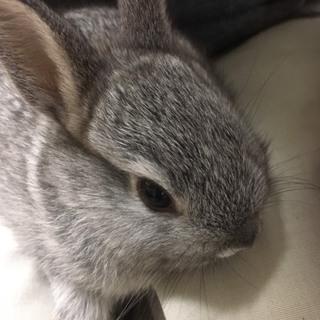 灰色の仔ウサギ