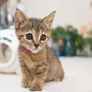 たれ目のムギワラ猫(ローズ)