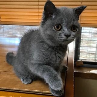 ブリティッシュショートヘアー 子猫