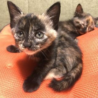 お願いします。サビ柄猫姉妹子猫 大人しくて優しい子