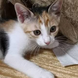 生後約3か月可愛い三毛の仔猫です