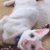 洋猫MIX 灰色ハチワレ♂