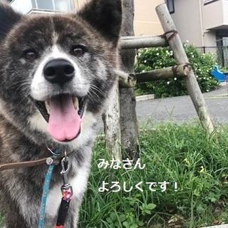 人が大好きで甘えん坊な秋田犬、鈴葉ちゃん