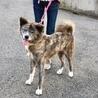 人馴れ抜群 愛らしい秋田犬の女の子 サムネイル3