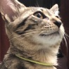ピンクゴールドの瞳と長いシッポのキジ君です サムネイル3