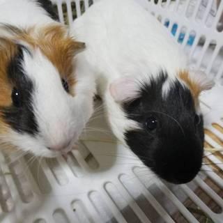 モルモット メス2匹 生後4か月