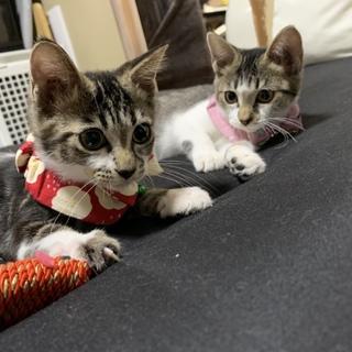 ❤︎仲良しなキジシロの姉弟猫ちゃん❤︎