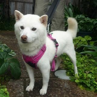 散歩が大好き・人が大好き・白柴犬の女の子・室内飼い