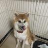 秋田犬1歳6ヶ月(女の子)メス