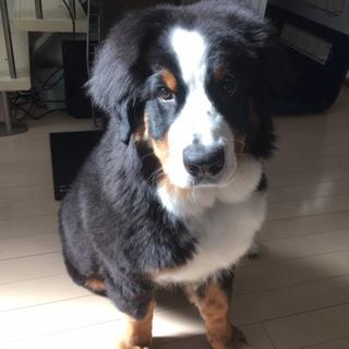 大型犬 1歳 避妊済