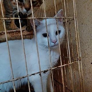 一歳半の白猫です