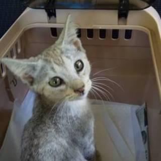 可愛い子猫の里親さんを募集しています〜大紀くん〜