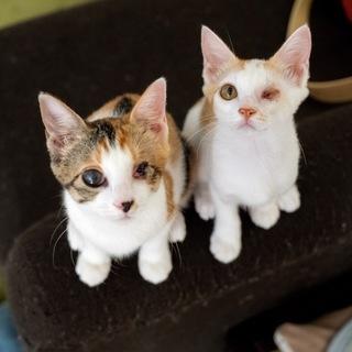 三毛とシロ茶の姉妹(左目見えません)