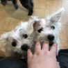 子犬の里親募集 ペキニーズmix サムネイル6
