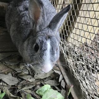 白×グレーのウサギ