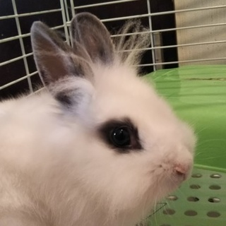 札幌市白石区から、ミニウサギ一歳くらいです。