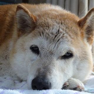 【里親急募】血統書付き柴犬/13歳メス