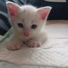 やんちゃな♀の子猫、しらたまちゃんです。